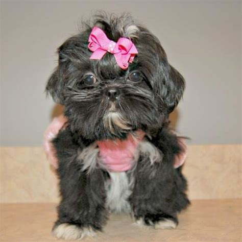 grown teacup shih tzu teacup shih tzu puppies for sale history temperament
