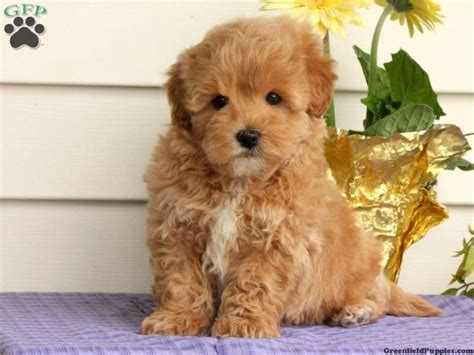 maltipoo puppies for sale illinois best 25 maltipoo puppies for sale ideas on