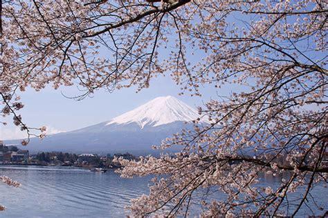 ste giapponesi fiori fiore di ciliegio simbolo judo judokodokanformia