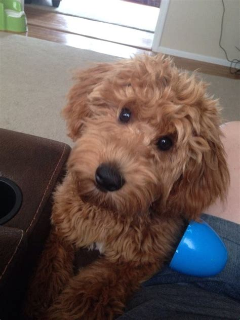 goldendoodle puppies nj goldendoodle puppy information why breeder ny pa nj ct goldendoodle breeder ny