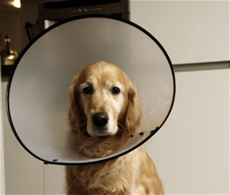 elizabethan collar for dogs the dreaded e collar why it s your best bet for wound care