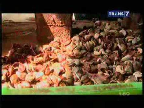 Jual Bibit Alpukat Di Garut cashew asiknya petik langsung jambu mete di kebun sega