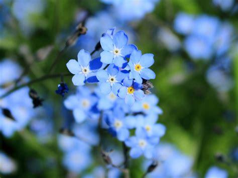 Blue Flowers For Garden Blue Flowers For Your Garden Saga
