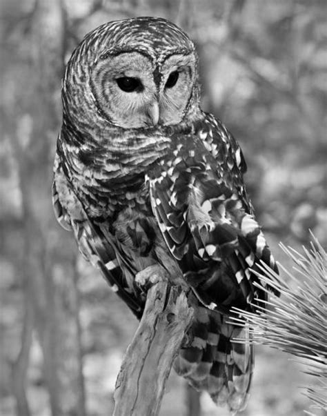 black and white owl wallpaper black and white owl on tumblr