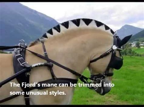 fjord horse facts fun facts about norwegian fjord horses youtube