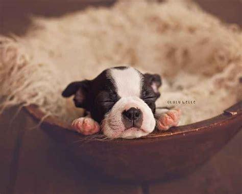 newborn puppy photoshoot 25 best puppy photo ideas on pupper doggo german shepherd ears and 3