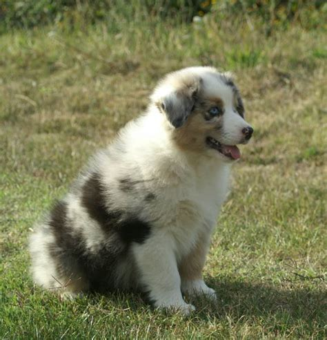 blue merle australian shepherd puppies for sale australian shepherd puppies blue merle for sale
