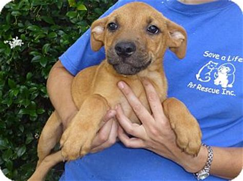 rhodesian ridgeback rescue puppies oviedo fl rhodesian ridgeback meet fran a for adoption