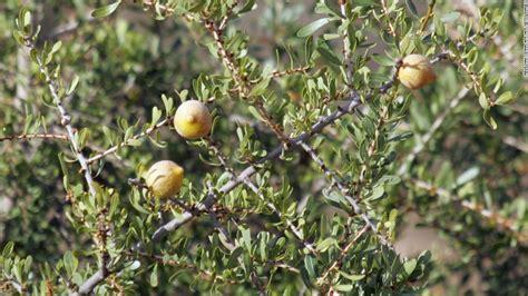 argan tree fruit argan morocco s desert gold cnn