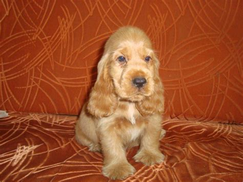 cocker spaniel puppies price cocker spaniel puppies for sale sarav7708099299 akilasarav gmail 1