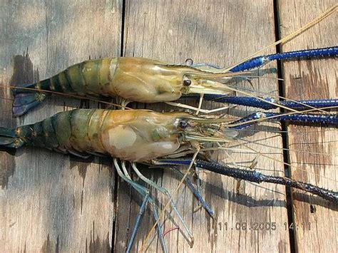 Umpan Pancing Air Tawar umpan mancing udang lobster air tawar 2018 mancing ikan