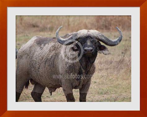 imagenes de cuernos fotos de animales con cuernos ejemplos tipos y nombres