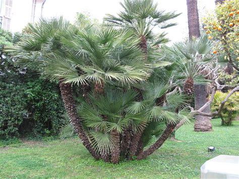 palme da giardino palme da giardino consigli coltivazione e cura