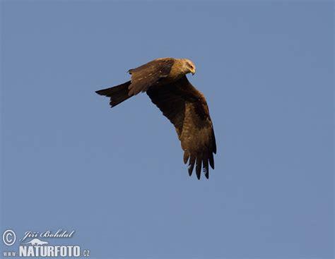 Kania Hitam milvus migrans pictures black kite images nature
