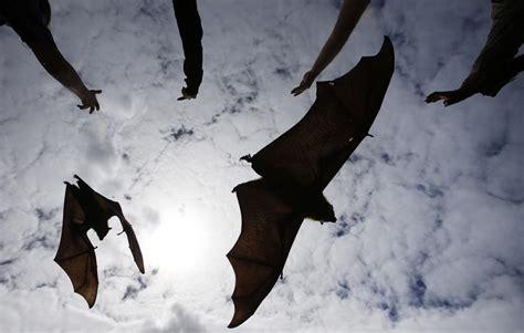 volpi volanti il rilascio dei pipistrelli giganti