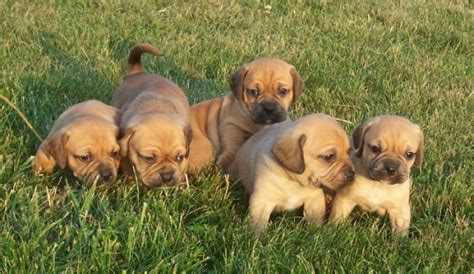 pictures of puggle puppies puggle puppy pictures