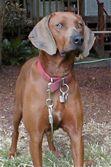 purebred redbone coonhound puppies for sale redbone coonhound puppies for sale redbone coonhound breeders models picture