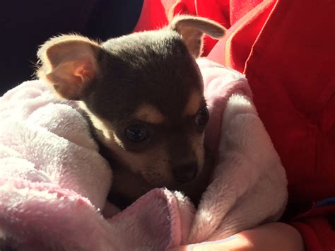 how to care for a chihuahua puppy how to care for your chihuahua with pictures wikihow autos post
