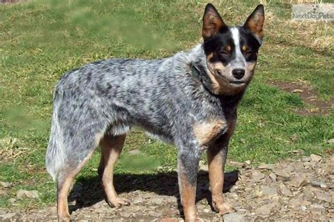 blue heeler dogs australian cattle blue heeler puppy for sale near bend oregon c2a4f5b5 12c1