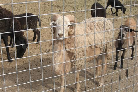Wool Shedding Sheep by Shedding Sheep