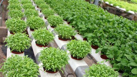 video membuat nutrisi hidroponik membuat nutrisi organik untuk hidroponik gerbang pertanian