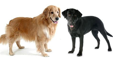 golden retriever and labrador retriever golden retriever vs labrador which is the best pet