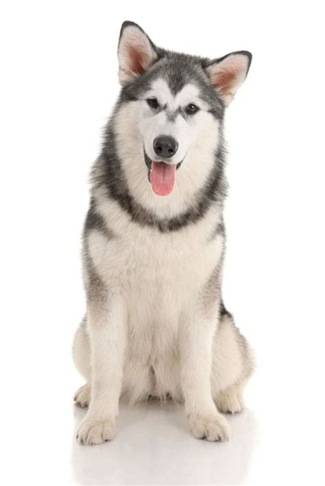 cheap husky puppies cheap husky for sale runcorn cheshire pets4homes