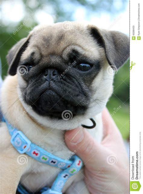 pugs being pug puppy being held stock photo image 60288433