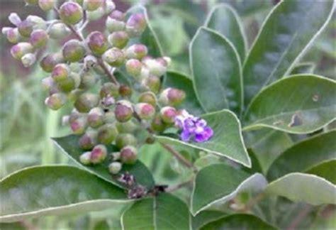 Obat Herbal Vitex 23 manfaat daun legundi untuk kesehatan kesehatandia