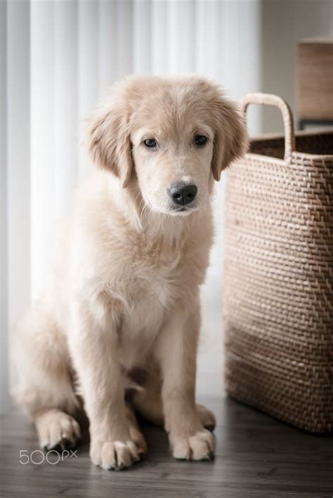 golden retriever breeders montreal 1000 ideas about golden retrievers on