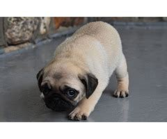 pugs for sale chicago pug for sale animals chicago illinois announcement 82707