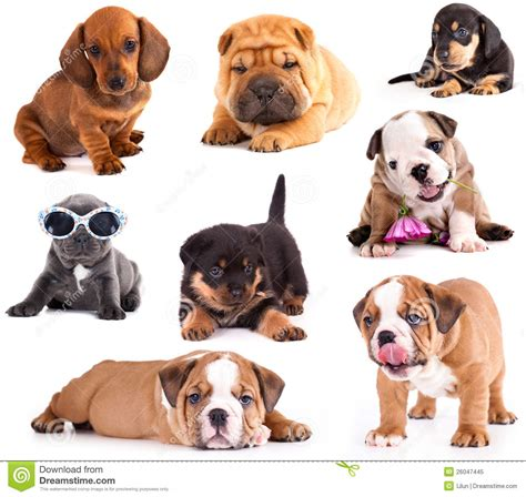 different puppies puppies of different breeds dachshund shar pei rottweiler bulldog different