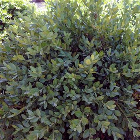 buxus wilson northern charm boxwood from midwest