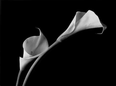 white calla lilies photograph by john wong