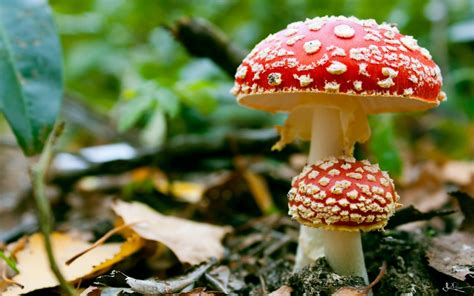 mush room poisonous mushrooms amanita wallpapers and images wallpapers pictures photos