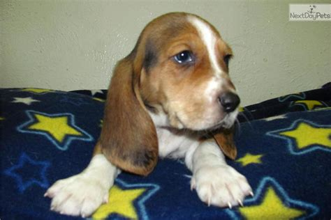 basset hound puppies near me basset hound puppy for sale near nashville tennessee cf9be322 dec1