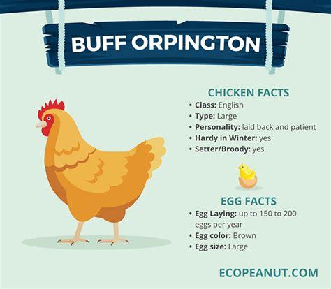buff orpington egg color buff orpington eggs color www pixshark images