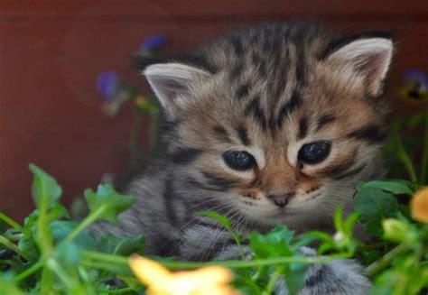 alimentazione gatto siberiano gatto siberiano carattere e prezzo idee green