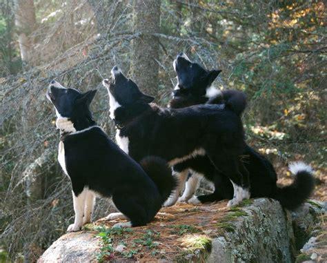 karelian puppy karelian dogs