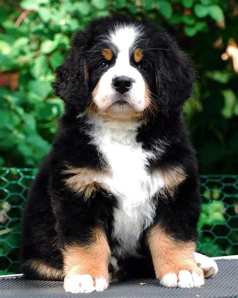 great bernese puppies 25 best ideas about great bernese on cutest mixes great pyrenees