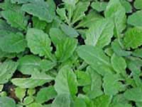 Sari Daun Dewa Gynura Procumbens Folium 301 moved permanently