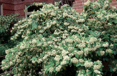 Flowering Shrub Shade - cotoneaster lacteus landscape plants oregon state university