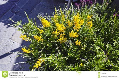 fiori di ginestra fiore di ginestra immagine stock immagine di fiore