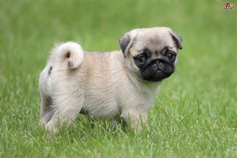 average of a pug pug breed information buying advice photos and facts pets4homes