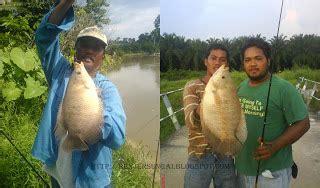 Ikan Tipis Puput 1 2 Kilo renjer sungai info tentang ikan kaloi