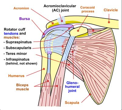 diagram of left shoulder creating a vibrant healthy why suffer with shoulder