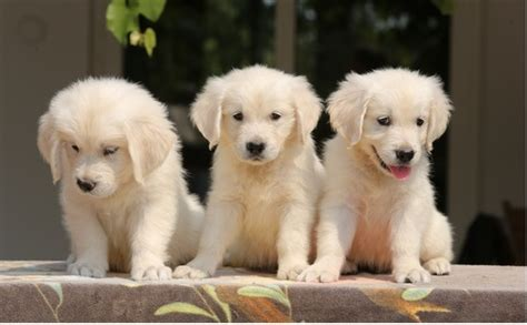 golden retriever puppies montreal view image 1 for pale golden retriever montreal eclassifieds 4u