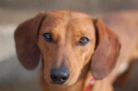 wiener puppies dachshund pictures pics images and photos for inspiration