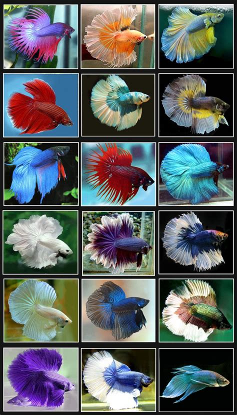 betta colors 15 list different types of betta fish with pictures