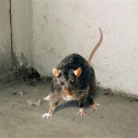 Ratten Im Garten Bekämpfen 2156 by Ratten Und M 228 Use Erfolgreich Bek 228 Mpfen Compo De